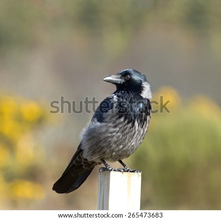 Hybrid Carrion and Hooded Crow seen at Culloden Battlefield in Scotland. - stock photo
