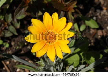 """Hybrid """"Gazania Bicton Orange"""" flower in Zurich, Switzerland. - stock photo"""