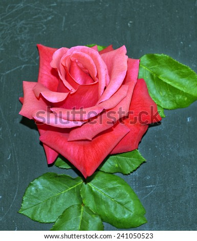 Hybrid tea rose displayed against a dark background - stock photo