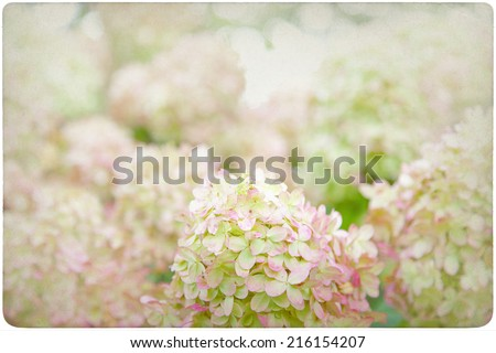 Hydrangea Flower Background on old, yellowed Paper  - stock photo