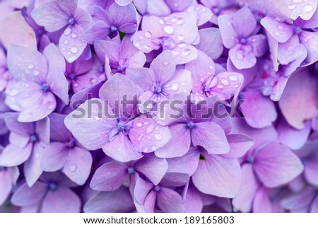 Hydrangea flower closeup with drops of dew. - stock photo