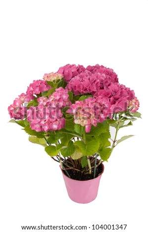 hydrangea flowers with a pink pot (top view) - stock photo