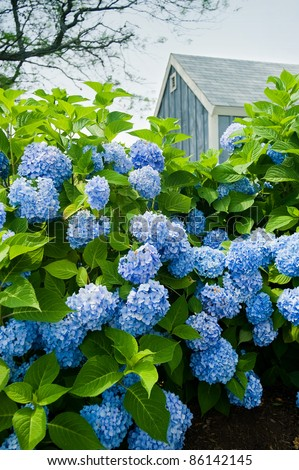 Hydrangea flowers with a small blue cottage in the background. - stock photo