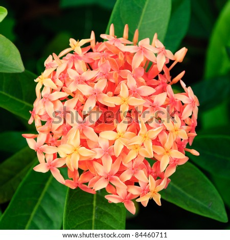 Hydrangea in red with green leave background - stock photo