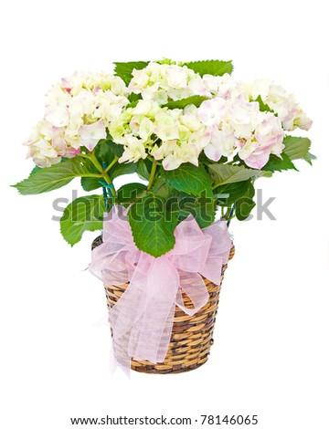 Hydrangea plant sympathy flower arrangement isolated on white - stock photo