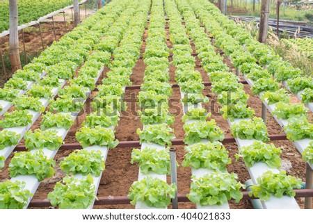 hydrophonic vegetable - stock photo