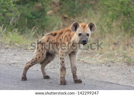 hyena mammal wildlife African continent kruger national park south africa wild eco-tourism and solidarity - stock photo