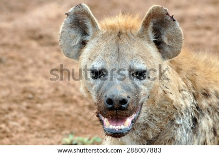 Hyena Powerful Jaws - stock photo
