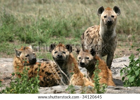 Hyena - Serengeti Wildlife Conservation Area, Safari, Tanzania, East Africa - stock photo
