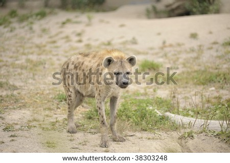 Hyena standing in the sand - stock photo