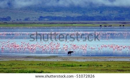 Hyena with a lake full of pink flamingos in the Ngorongoro Crater, Tanzania - stock photo