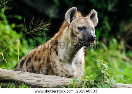 Hyenas in Safari. - stock photo