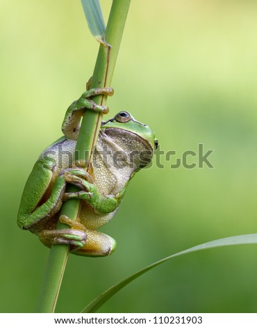 Hyla Arborea (green treefrog) hanging towards some grass and ready to make a giant leap to his habitat - stock photo