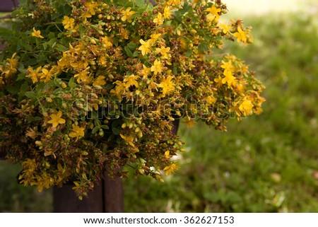 Hypericum flowers (Hypericum perforatum or St John's wort). St. John's wort flowers gathered in a bouquet lying on the table outdoors - stock photo