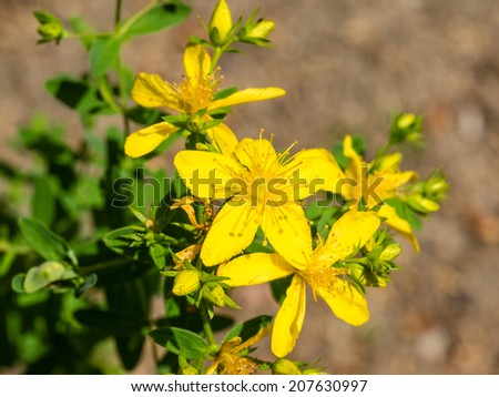 Hypericum perforatum, also known as St John's wort, is a flowering plant species of the genus Hypericum and a medicinal herb that is sold over-the-counter as a treatment for depression - stock photo