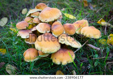 Hypholoma fasciculare also known as the sulphur tuft - stock photo