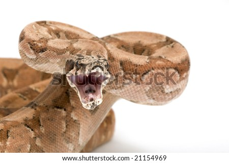 Hypo Argentine Boa (Boa constrictor occidentalis) on white background. - stock photo