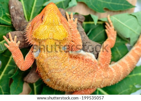 Hypo Leatherback Bearded Dragon perched on leaves green a branch ,sitting on tree in the natural habitat skin surface rough - stock photo
