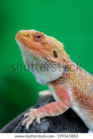 Hypo Leatherback Bearded Dragon perched on log green background blur, a branch ,sitting on tree in the natural habitat. close-up photos ,skin surface rough - stock photo