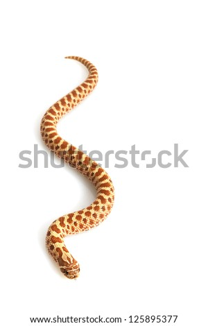 Hypo Western Hognose Snake (Heterodon nasicus) isolated on white background. - stock photo