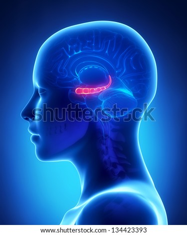 Hyppocampus - female brain anatomy lateral view - stock photo