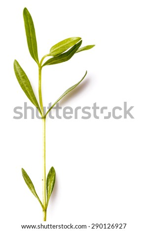 Hyssop herb leaf used for both cooking, alternative medicine and aromatherapy. Great ingredients in the New Nordic Culinary - stock photo