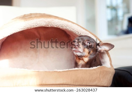 I feel comfortable. Small lazy toy-terrier dog in it's pet house. Indoors. - stock photo