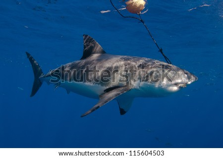 I great white shark, and endangered animal attacks a bait hanging form a bouy at a popular dive tourism destination at Guadeloupe island Mexico. - stock photo