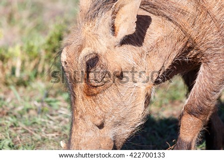 I See - Phacochoerus africanus - The common warthog is a wild member of the pig family found in grassland, savanna, and woodland in sub-Saharan Africa. - stock photo
