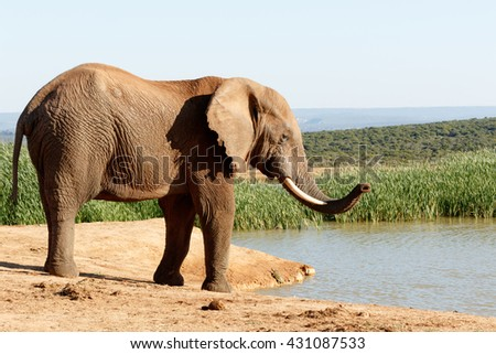 I smell them - The African bush elephant is the larger of the two species of African elephant. Both it and the African forest elephant have in the past been classified as a single species. - stock photo