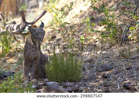 Iberian lynx or Lynx pardinus at wild life park - stock photo