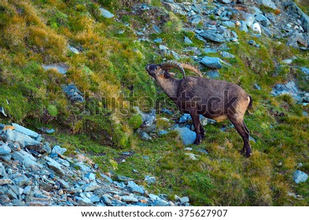Ibex, Capra ibex, antler alpine animal with coloured rocks in background, animal in the stone nature habitat, France - stock photo