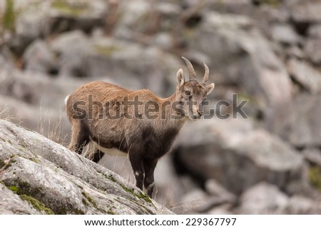 Ibex on a rock face - stock photo