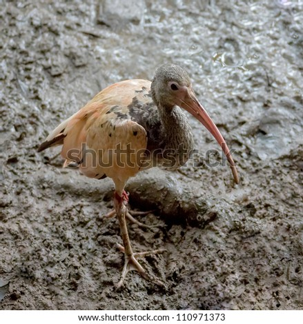 Ibis search of food during low tide in the Delta of the Orinoco - Venezuela, Latin America - stock photo