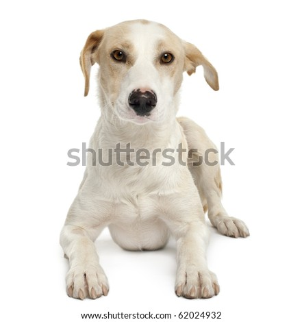 Ibizan hound, 12 months old, lying in front of white background - stock photo