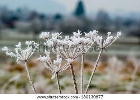 Iceflowers on a plant in winter - stock photo