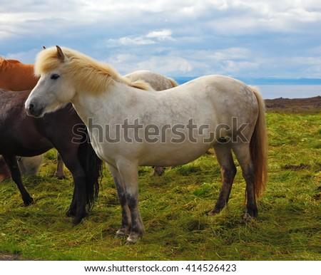 Iceland in the summer. Farm grazing herds. Beautiful horse grazing in a meadow near the farm - stock photo
