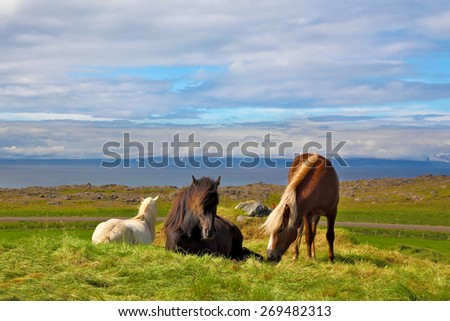 Iceland in the summer. Farm grazing herds. Well-groomed horses grazing in a meadow near the farm - stock photo