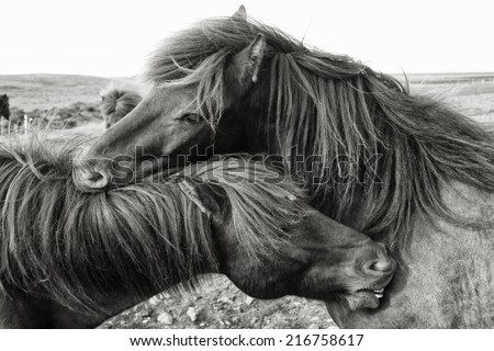 Iceland's Icelandic horses mutually grooming each other in Sepia Tone - stock photo