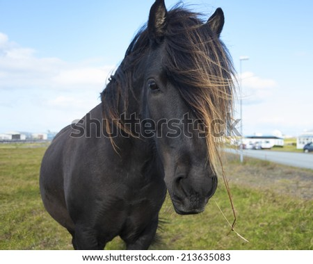Iceland Stallion/Mare - stock photo