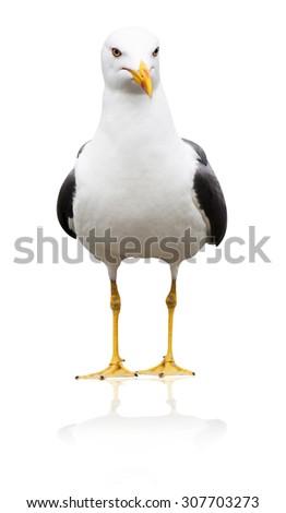 Icelandic gull, Larus glaucoides, isolated on white - stock photo
