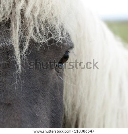 Icelandic horse face - stock photo