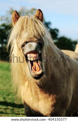 Icelandic horse laughs - stock photo