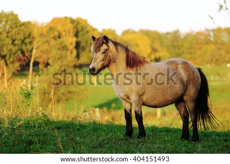Icelandic horse mare in foal  - stock photo