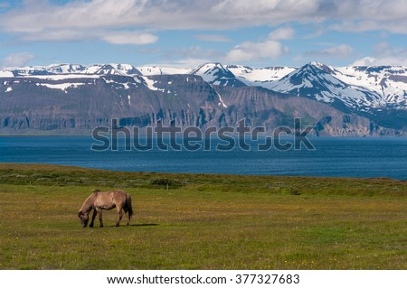 Icelandic horse on pasture at sea with panorama mountains, nature habitat, Iceland - stock photo