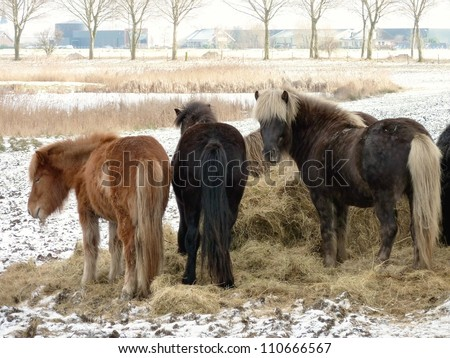 Icelandic horses eating hay in the winter - stock photo