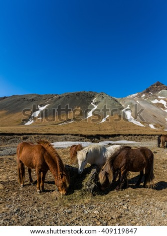 Icelandic horses feeding in landscape - stock photo