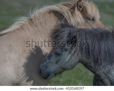 Icelandic horses in the pasture with mountains background, nature habitat, Iceland - stock photo