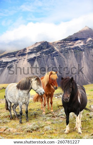 Icelandic Horses on Iceland nature landscape. Beautiful Icelandic horse standing on field in nature landscape with mountains. Iceland travel and tourism. - stock photo