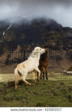 Icelandic horses playing together  - stock photo